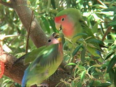 Peach faced lovebird in the wild