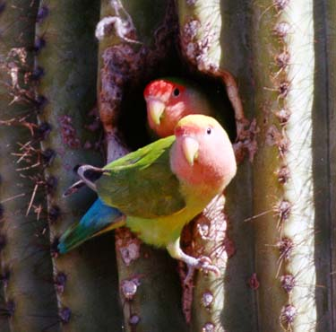 Peach Faced Lovebirds [photo copyright Greg Clark]