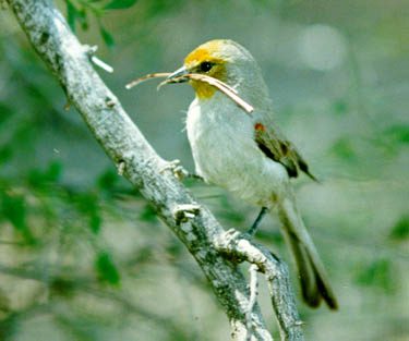 This male Verdin was photographed by Earl Robinson